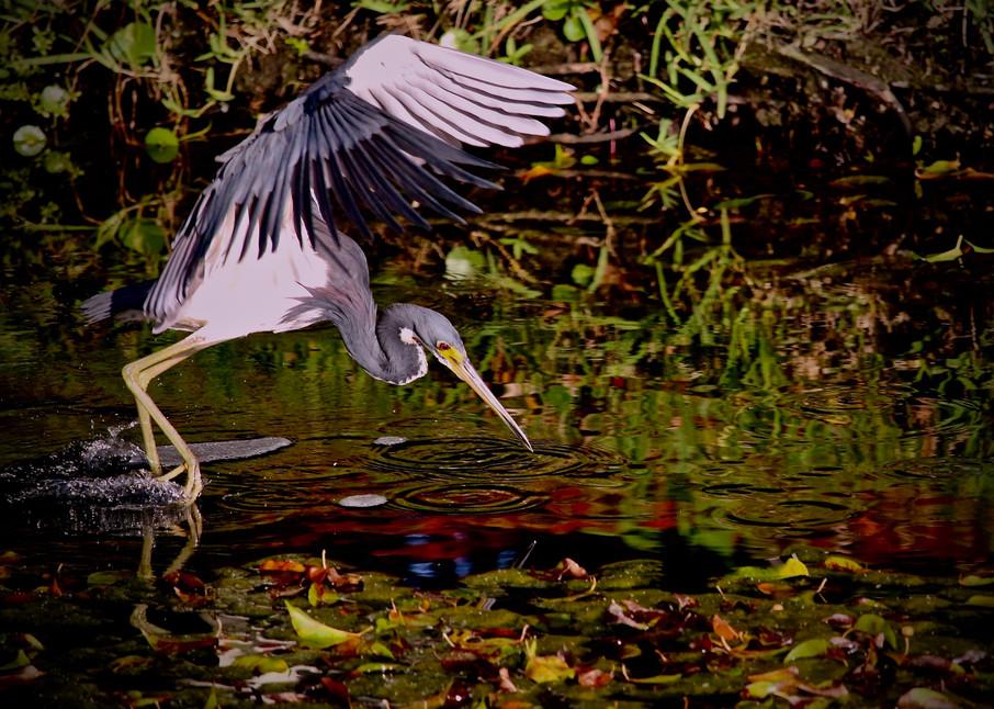 Great Blue Heron Photography Art   CJ Harding