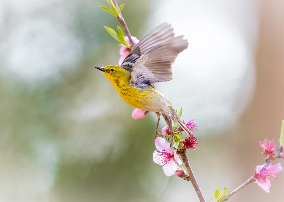 Cherry And Pine Photography Art | danieldauria