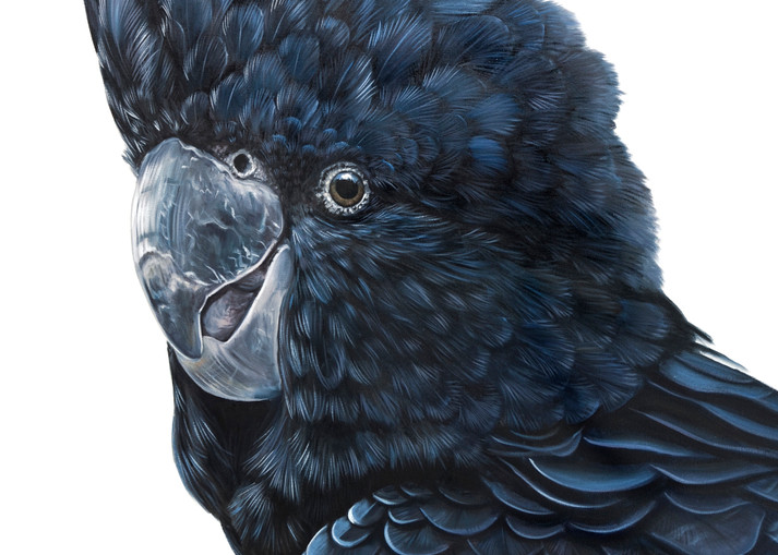 Alfred - Red-tailed Black Cockatoo