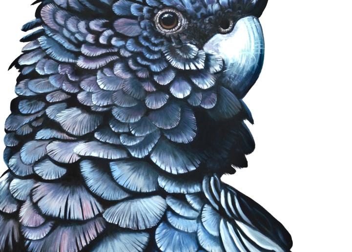 Sam - Red-tailed Black Cockatoo