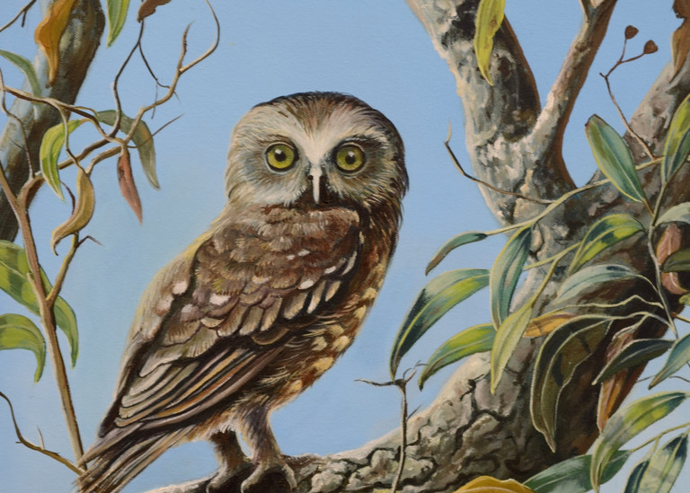 Boobook Owl - Whooo's There?