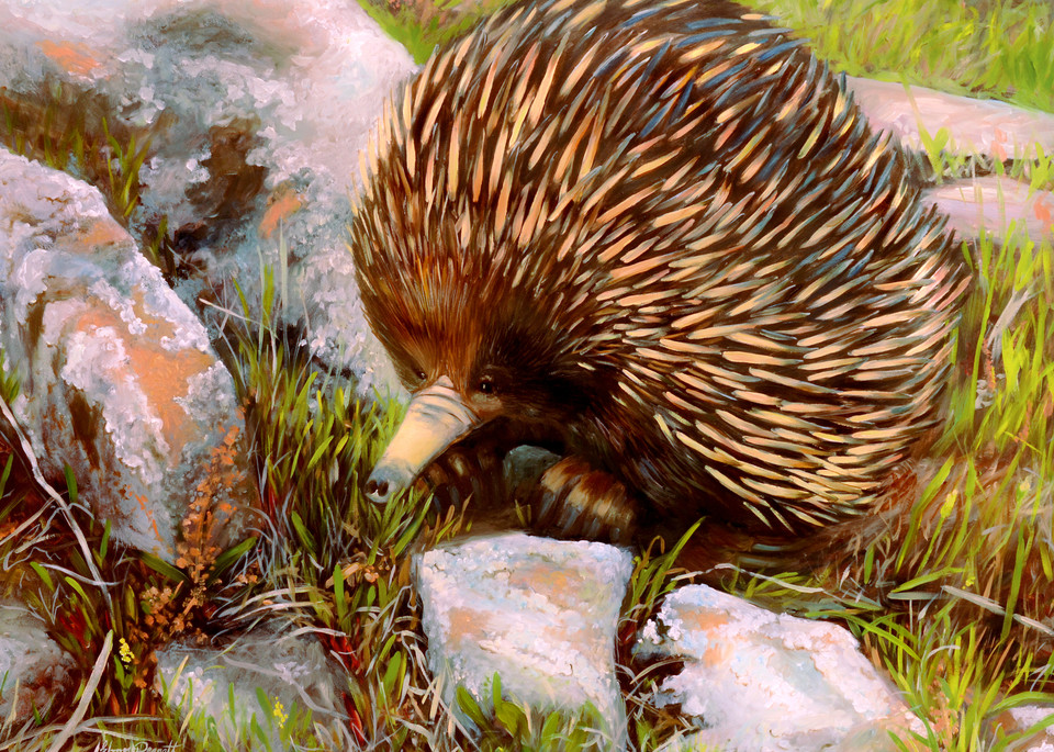 Echidna - Canberra Nature Park