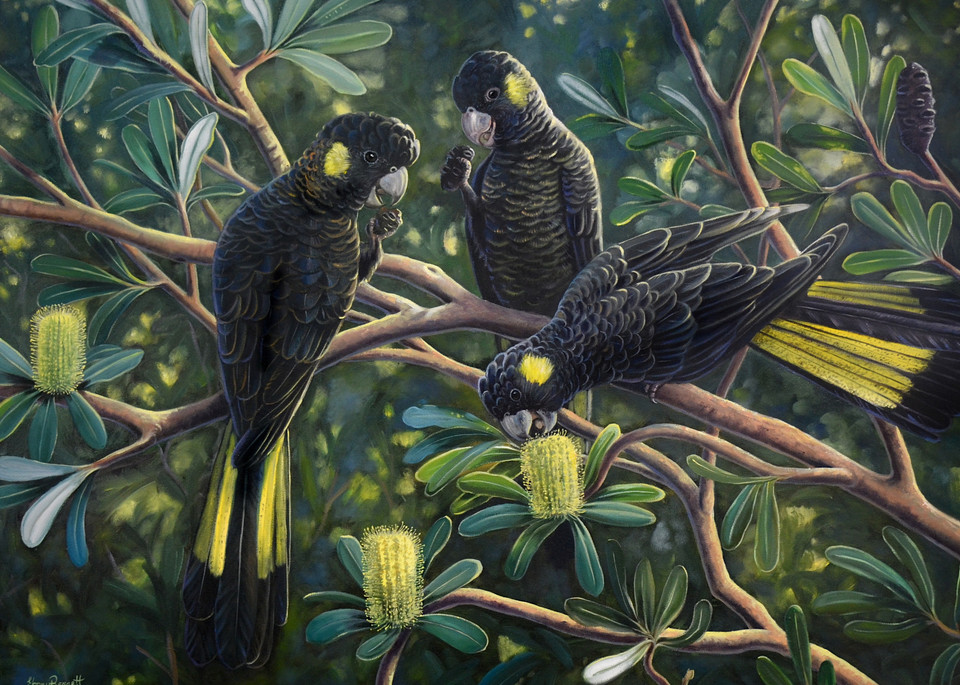 Yellow-tailed Black Cockatoos - Banksia Feast