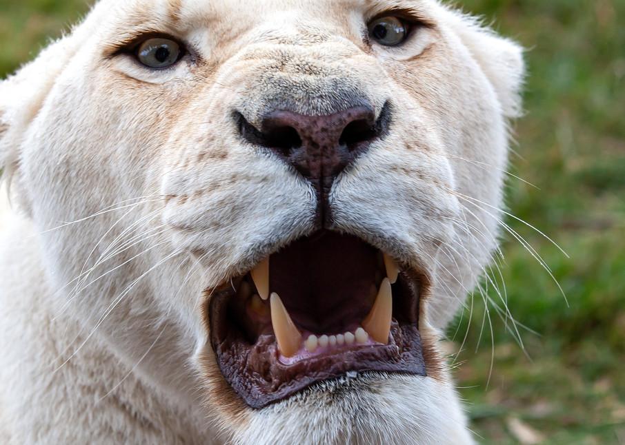 Lioness' Warning Photography Art | Josh Kimball Photography