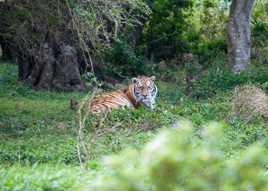 The Bengal's Gaze Photography Art | Josh Kimball Photography