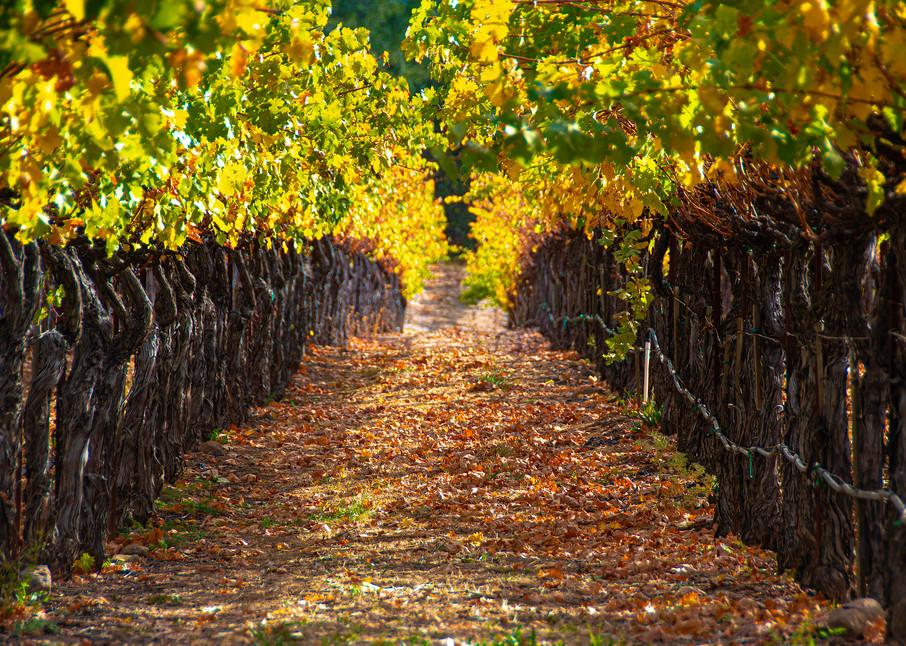 California Napa Valley Vineyard Photographs – Grapevine Fine Art Prints on Canvas, Paper, Metal & More