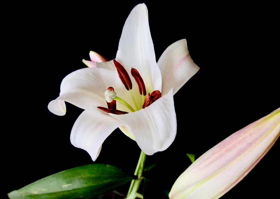 White Lily #2 Photography Art | CJ Harding