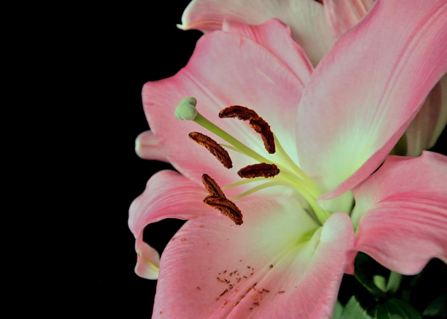 Pink Lily #5 Photography Art | CJ Harding