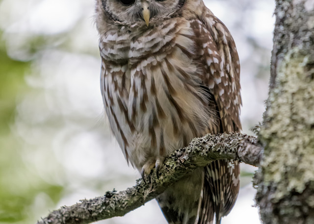 Acadia S Barred Owl Photography Art | Jesse MacDonald Photography