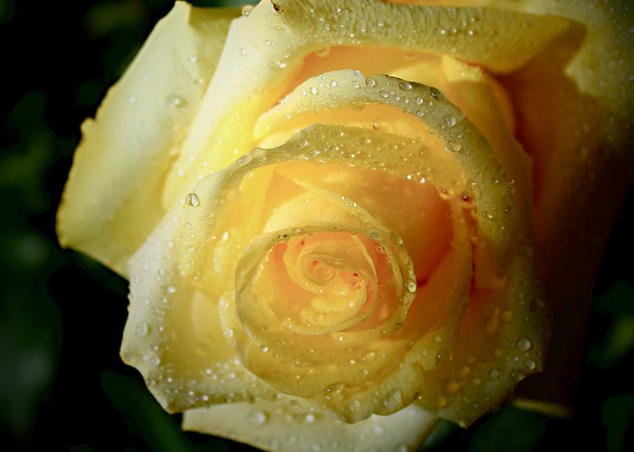 Flowers, yellow_rose, Arboretum