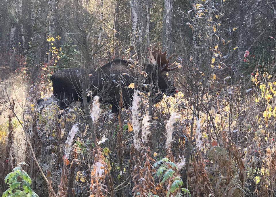 Fall Moose Photography Art | Visionary Adventures, LLC