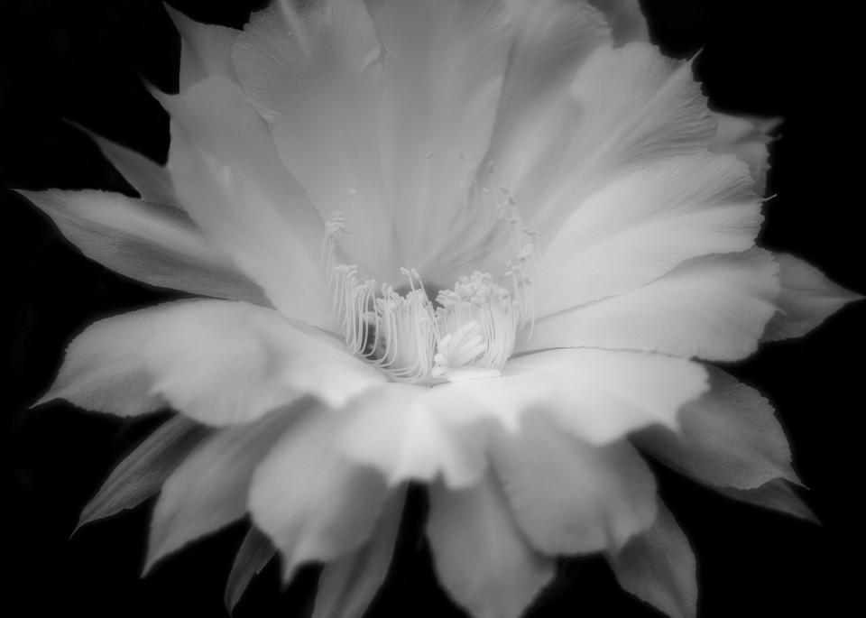 Black and White Echinopsis Blossom Photographic Print