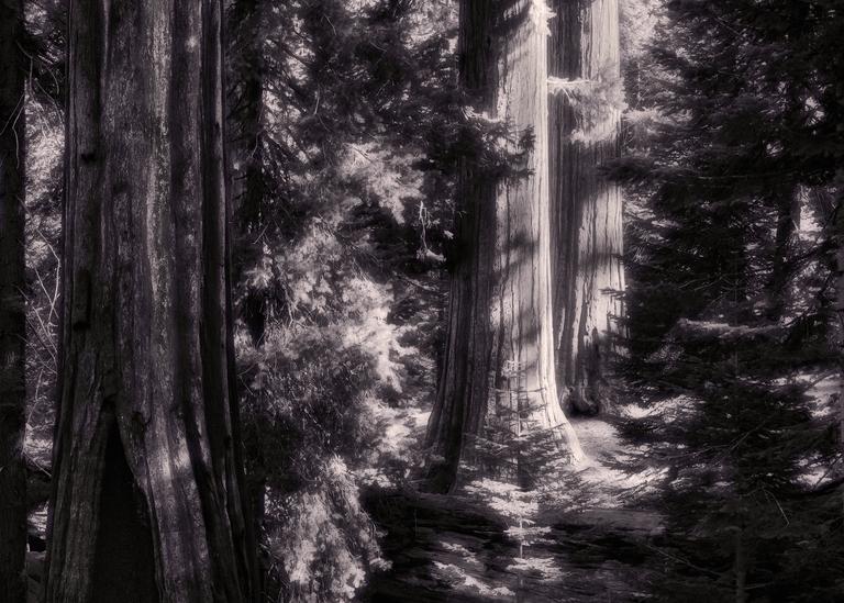 Fine Art Print | Redwood Grove Footpath