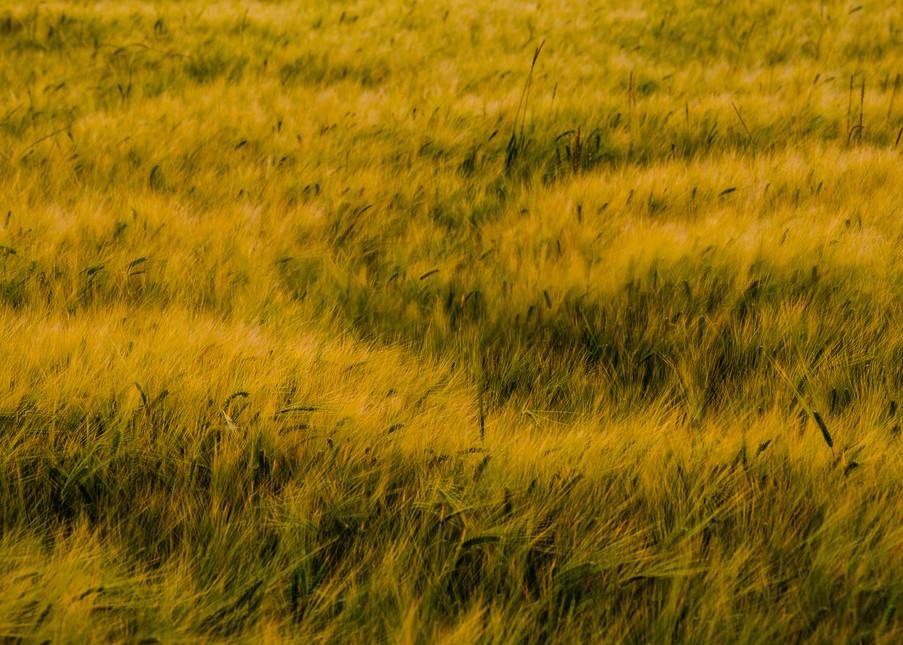 Barley Field No. 3, Whidbey Island, Washington, 2016