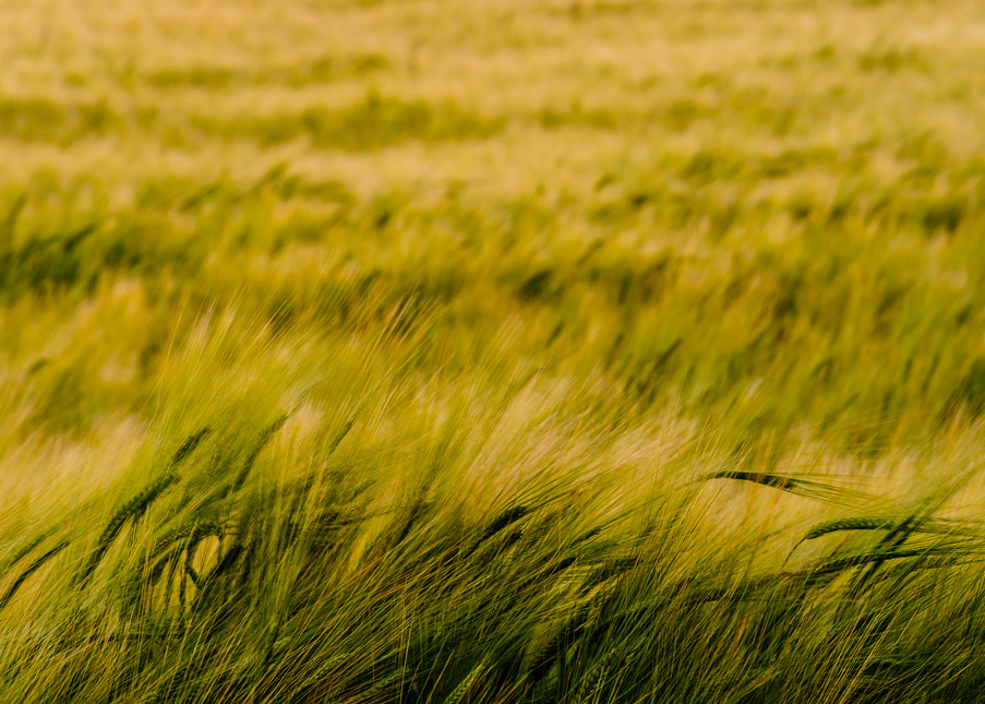 Barley Field No. 1, Whidbey Island, Washington, 2016