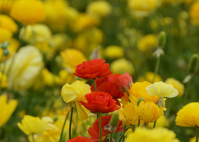 Flower Field Photograph – South California Ranunculus Photography - Fine Art Prints on Canvas, Paper, Metal & More