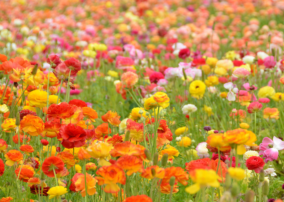 Flower Field Photograph – South California Photography - Fine Art Prints on Canvas, Paper, Metal & More