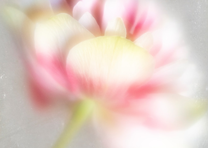Pink Frills and Thrills Double Tulip Fine-Art Print