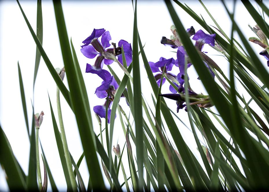 Iris #5 Photography Art | David Frank Photography