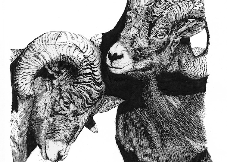 """""""Sizing Each Other Up""""   Rocky Mountain Bighorn Sheep (Rams) Art 