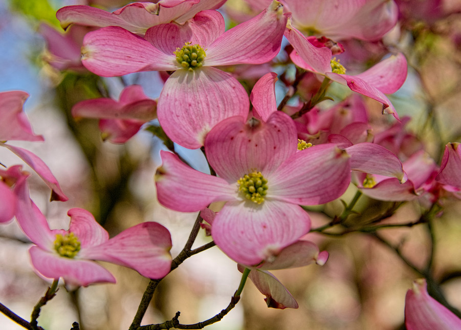 Pink Dogwood Photography Art | Hatch Photo Artistry LLC