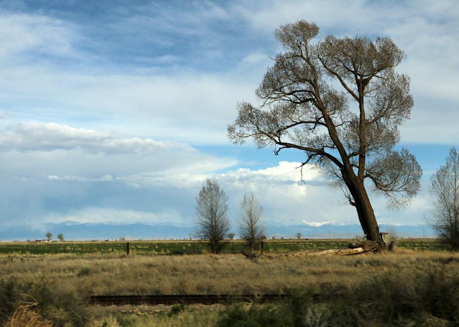 Lone Cottonwood Tree
