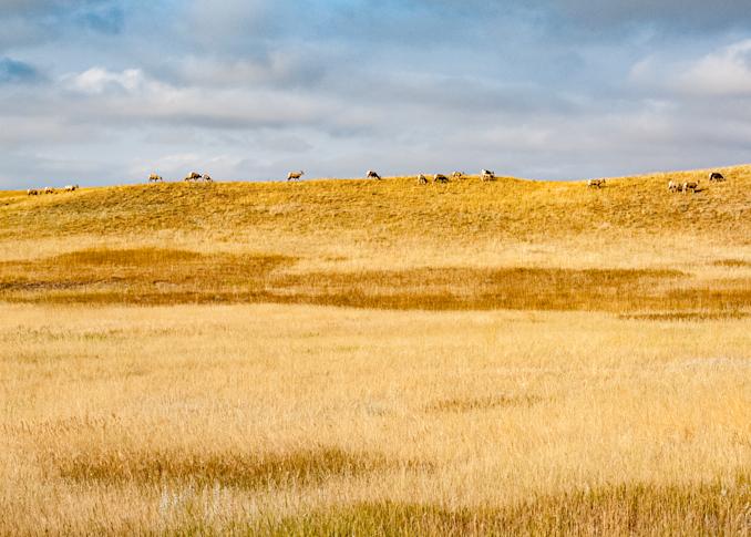 Bighorn Sheep On Horizon Panorama Photography Art | Hatch Photo Artistry LLC