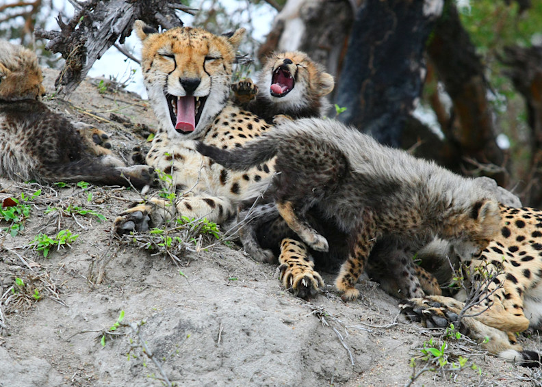 Cheetah Mom And Cubs 6 Art | DocSaundersPhotography