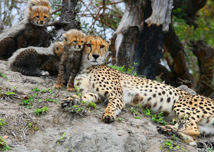 Cheetah Mom And Cubs Art | DocSaundersPhotography