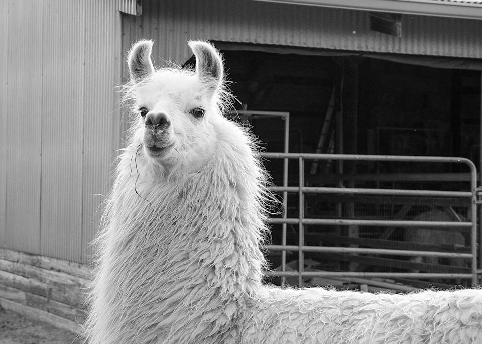 Lady Llama Bw Photography Art | Hatch Photo Artistry LLC