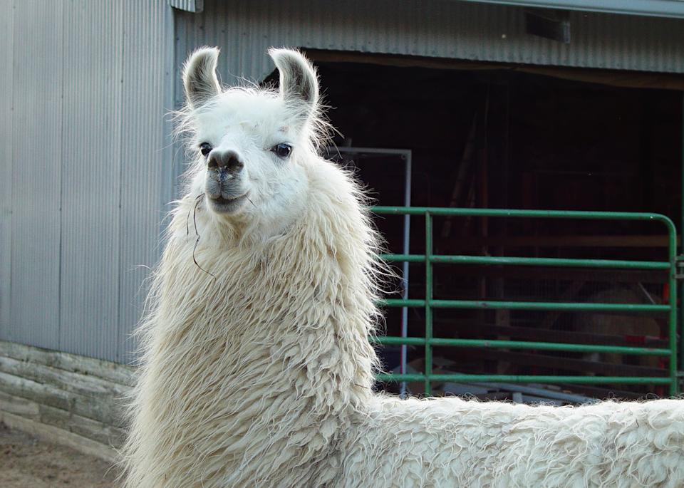 Lady Llama Color Photography Art | Hatch Photo Artistry LLC
