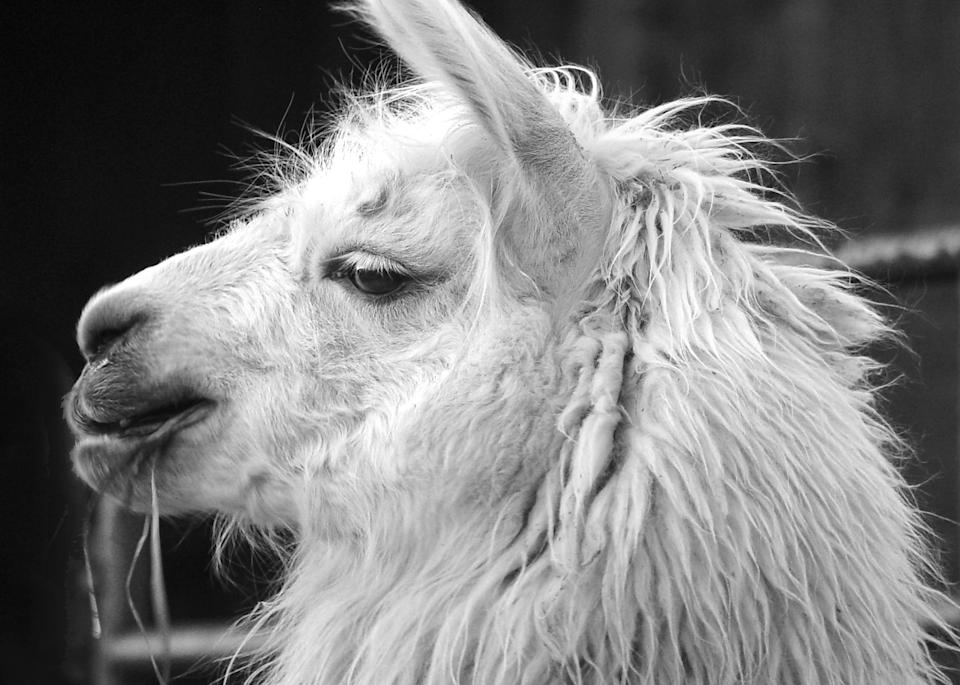 Llama Profile Bw Photography Art | Hatch Photo Artistry LLC