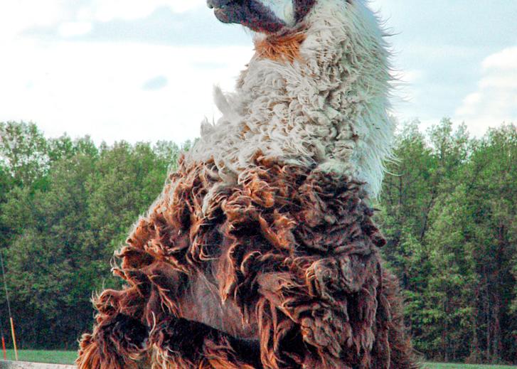 Neighborly Llama Photography Art   Hatch Photo Artistry LLC