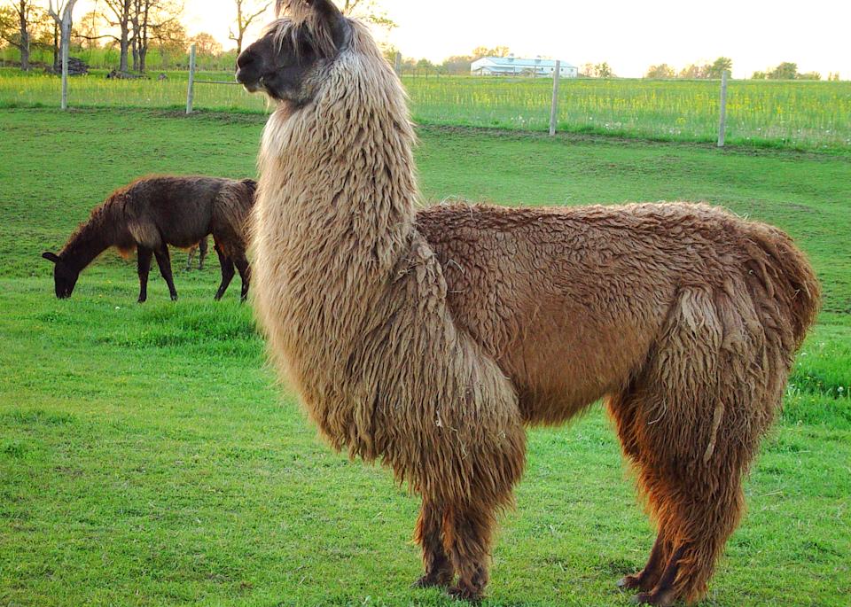 Backlit Llama  Photography Art | Hatch Photo Artistry LLC