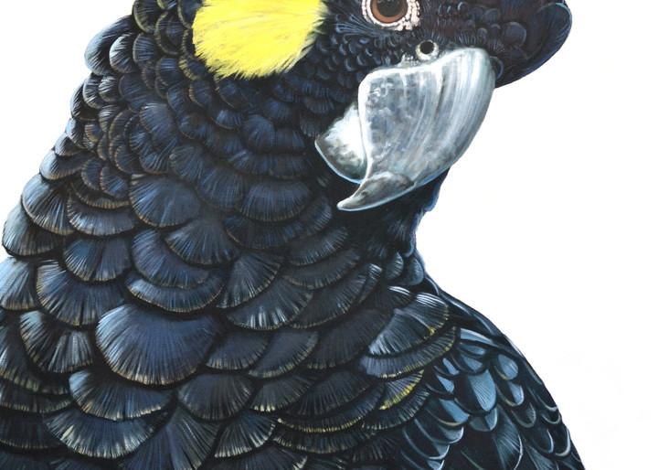 Jill - Yellow-tailed Black Cockatoo