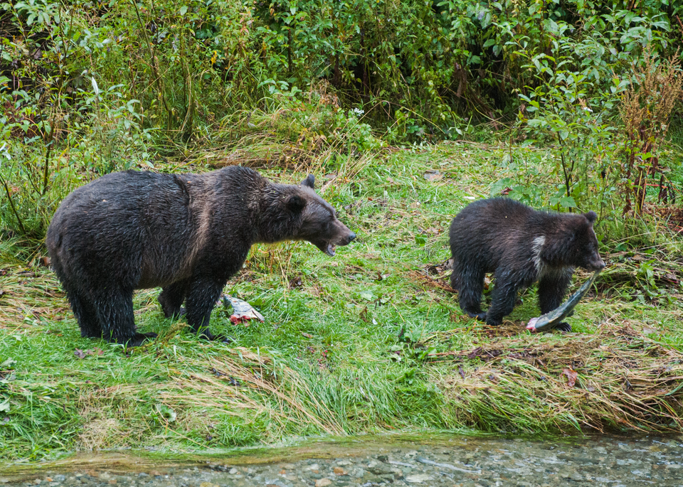 "Grizzly Bears ""Share"" A Fish  Photography Art 