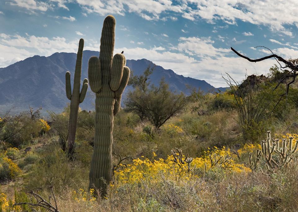 Cactus wren and saguaro
