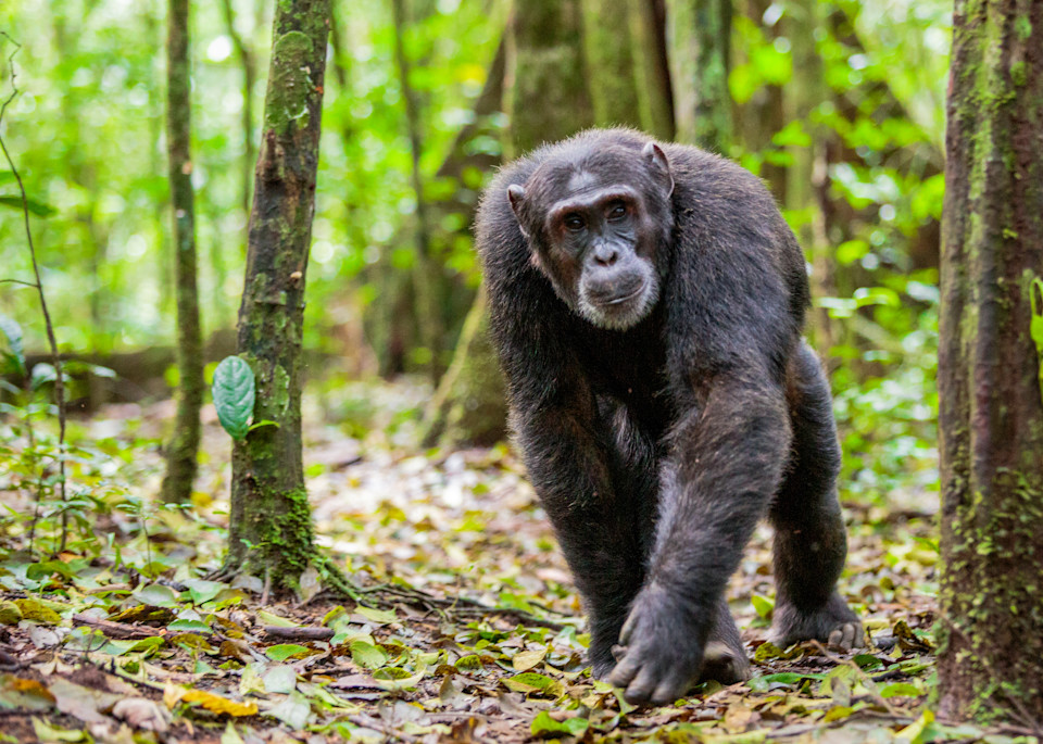 Chimp Forest Photography Art | Brokk Mowrey Photography