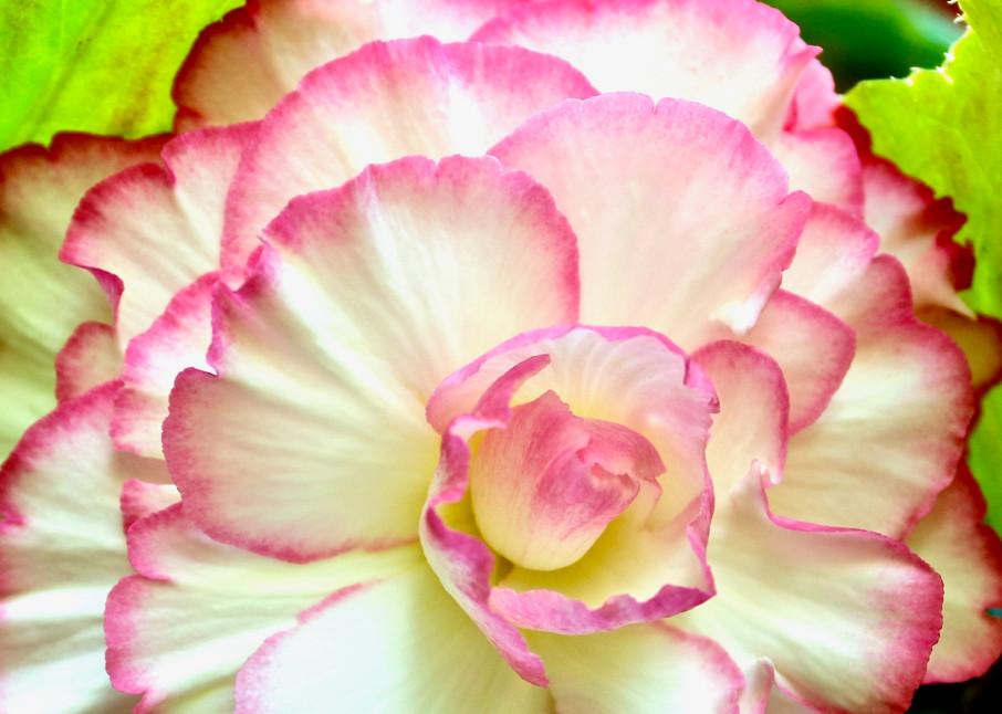 Begonia P&W Photography Art | CJ Harding