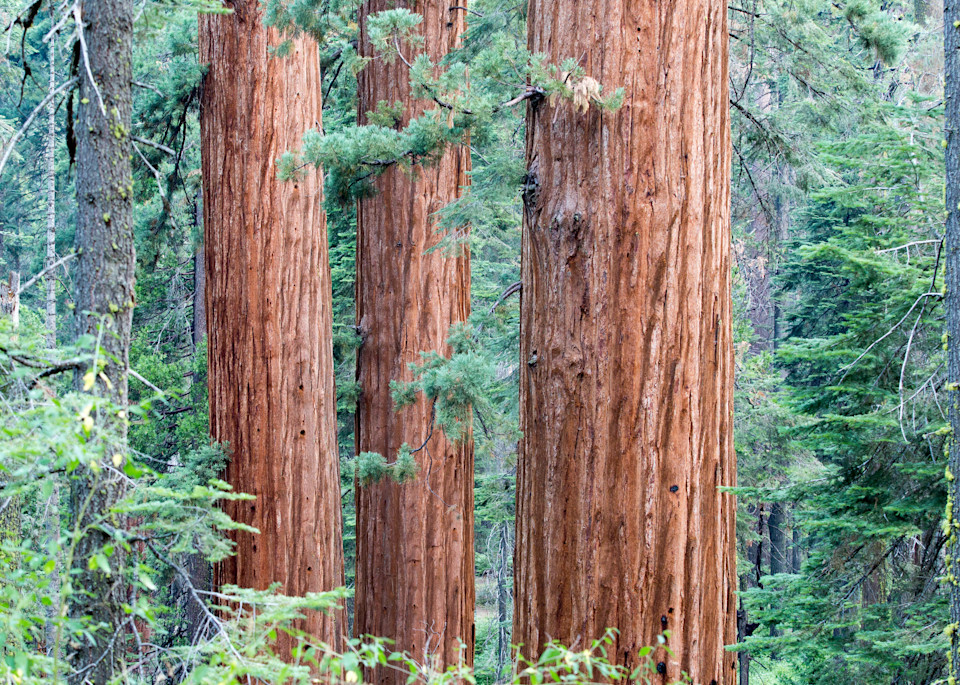 Sequoia Three Photography Art | Brokk Mowrey Photography