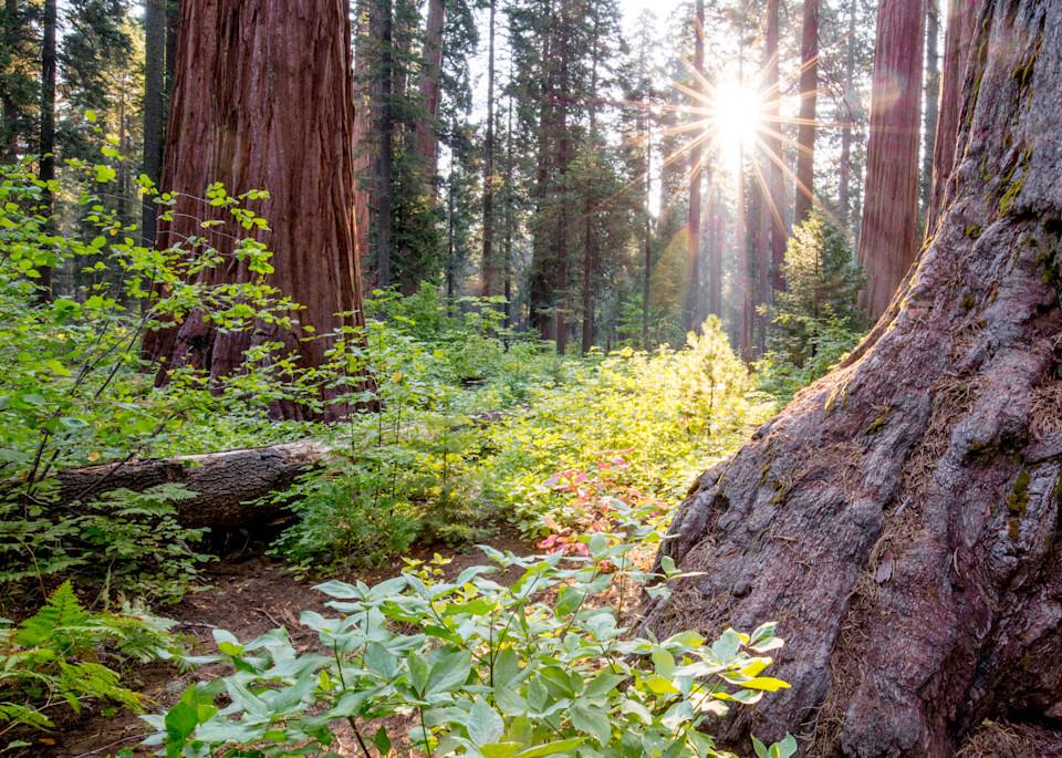 Sequoia Sunburst Photography Art | Brokk Mowrey Photography