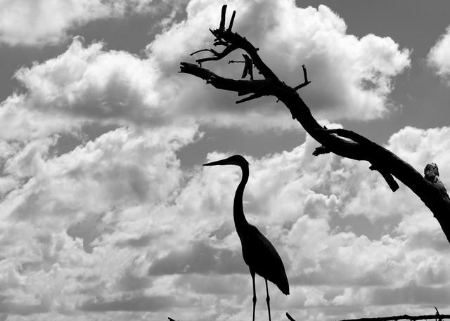 Tri Colored Heron Photography Art   Visions By Dan McCarthy