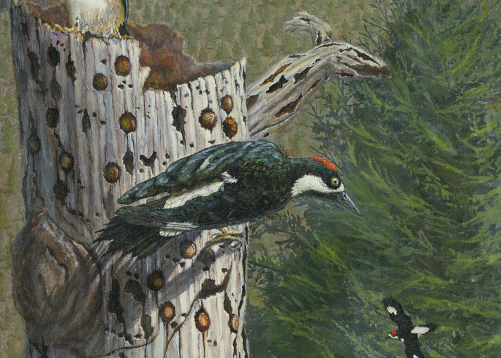 """""""Guarding The Cache""""   Acorn Woodpeckers Art   Drawn To Nature"""