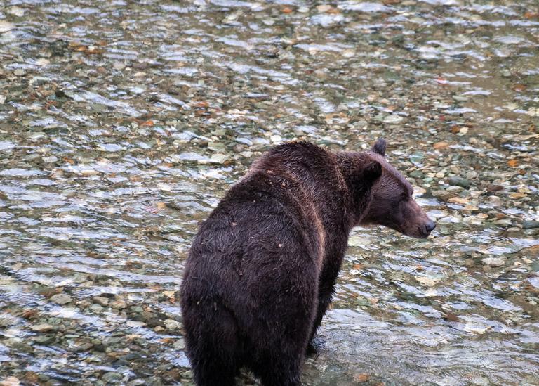 Grizzly Bear Fishing Photography Art | Hatch Photo Artistry LLC