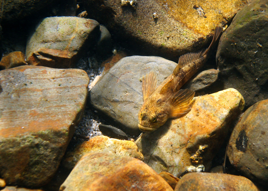 River Sculpin  # 8347 Photography Art   Mary Edwards Photography