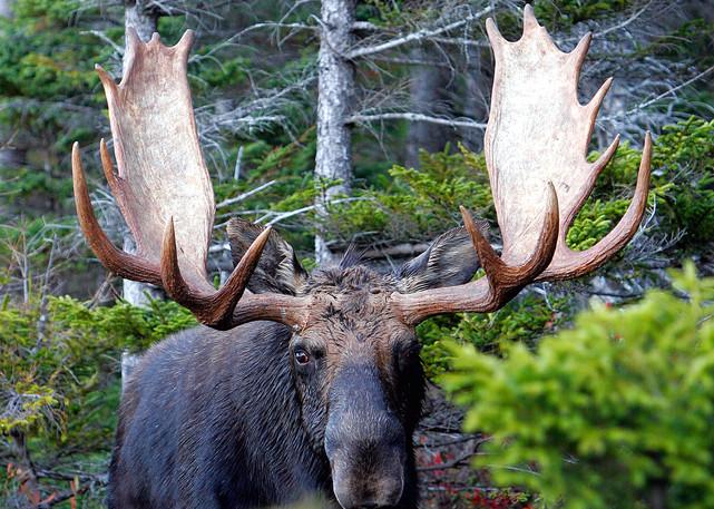 Bull Moose Photography Art | Nature's Art Productions
