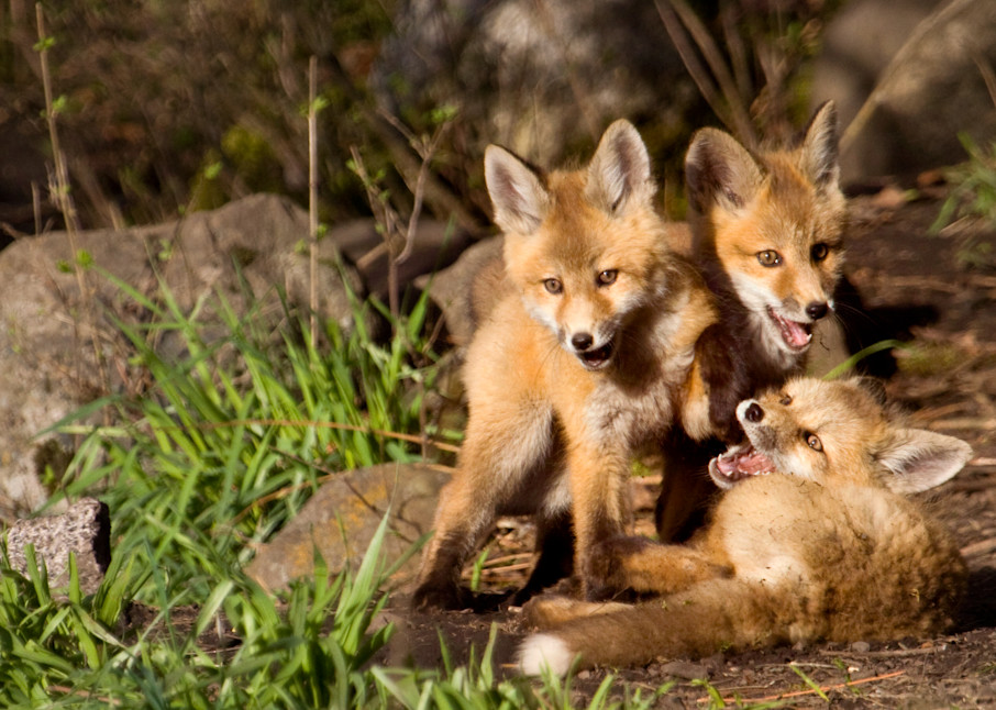 Red Fox Kits   #  0972 Photography Art | Mary Edwards Photography