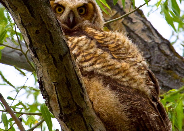 Juvenile Great Horned Owl   # 6051 Photography Art | Mary Edwards Photography
