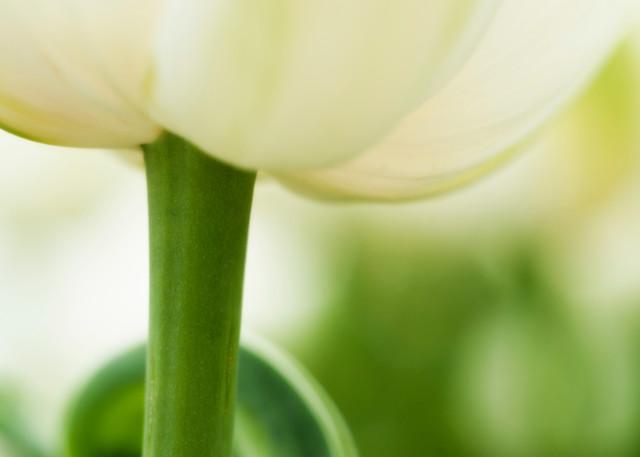 Tulipa.Tulip.7927 V3 Photography Art | Christopher Grey Studios