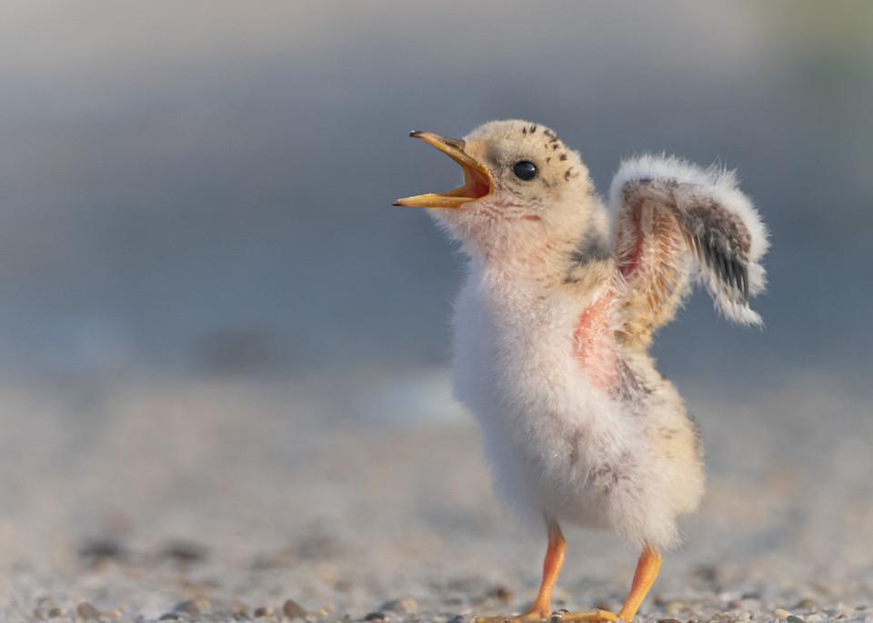 Least Tern Chick Art   Sarah E. Devlin Photography